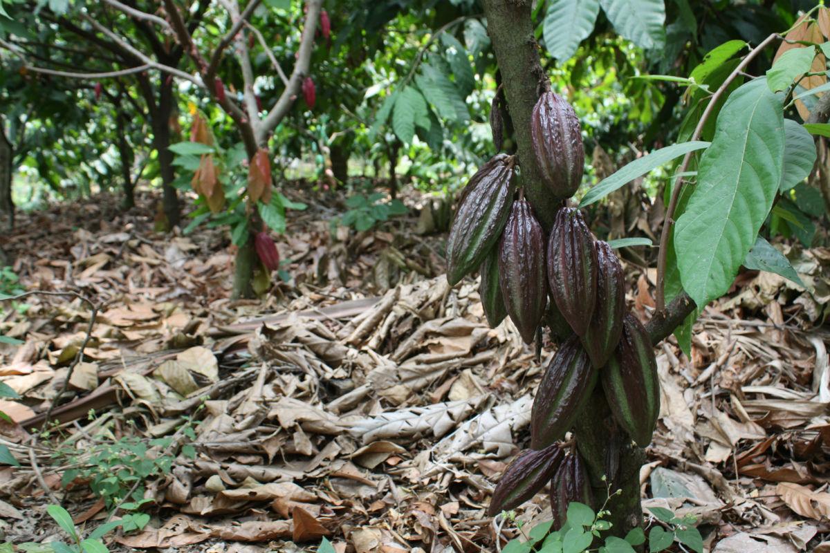 Il cacao puro