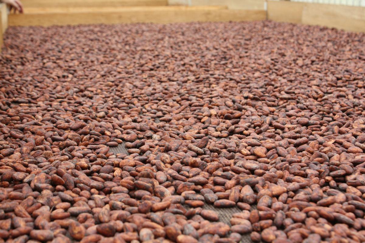 fave di cacao puro